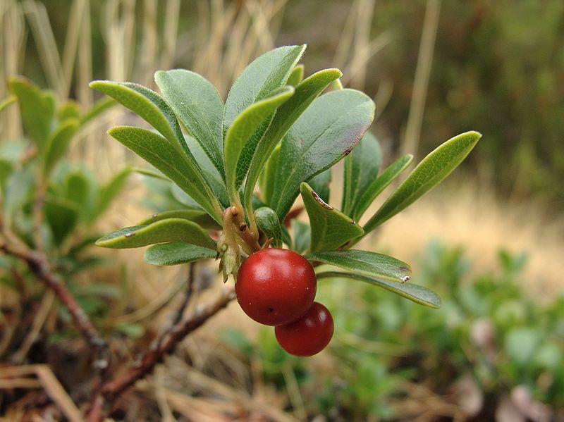 Piante della salute, Uva Ursina