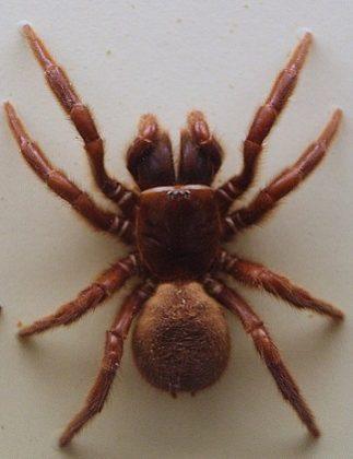 Ragno della Ragnatela ad Imbuto del Nord – Hadronyche formidabilis