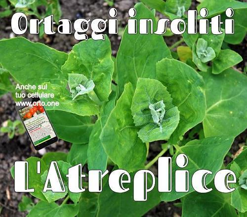 Il Bietolone, Spinacione o Treppico (Atreplice). Come si coltiva