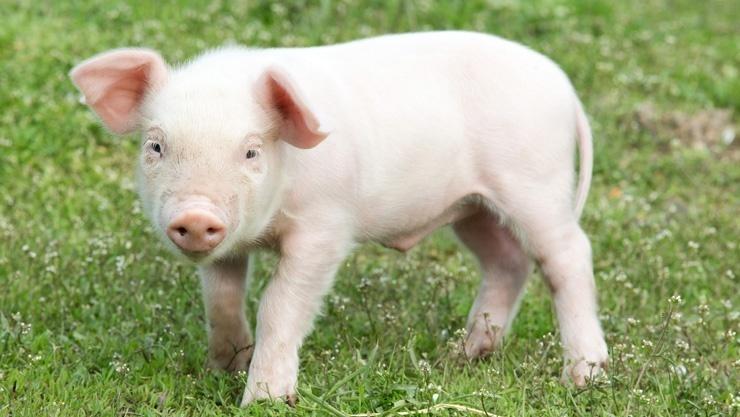 Il maiale non può guardare il cielo