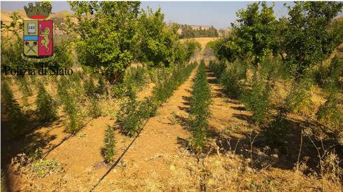 Centuripe: tre arresti scoperte 2700 piante di marijuana, varietà Cannabis e Skunk