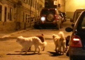 Riesplosa ad Enna la paura per la presenza di esche avvelenate, di mira i cani randagi