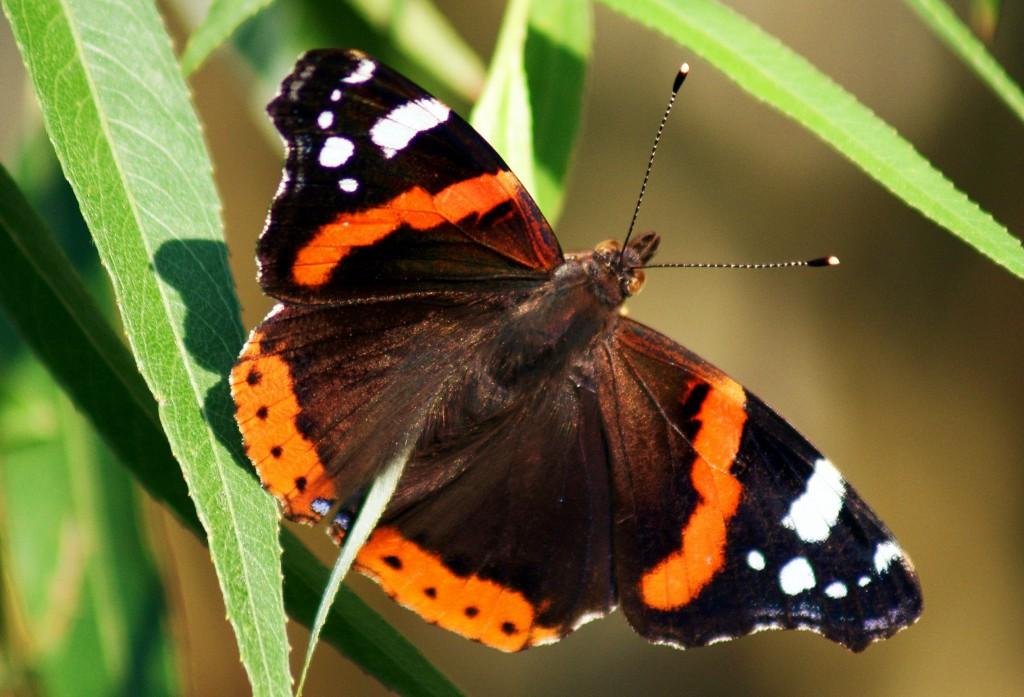 chi l'ha detto che le farfalle sono delicate?