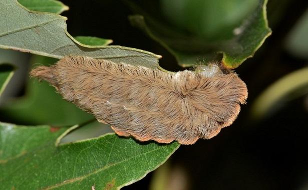 Megalopyge opercularis – Puss Moth Caterpillars