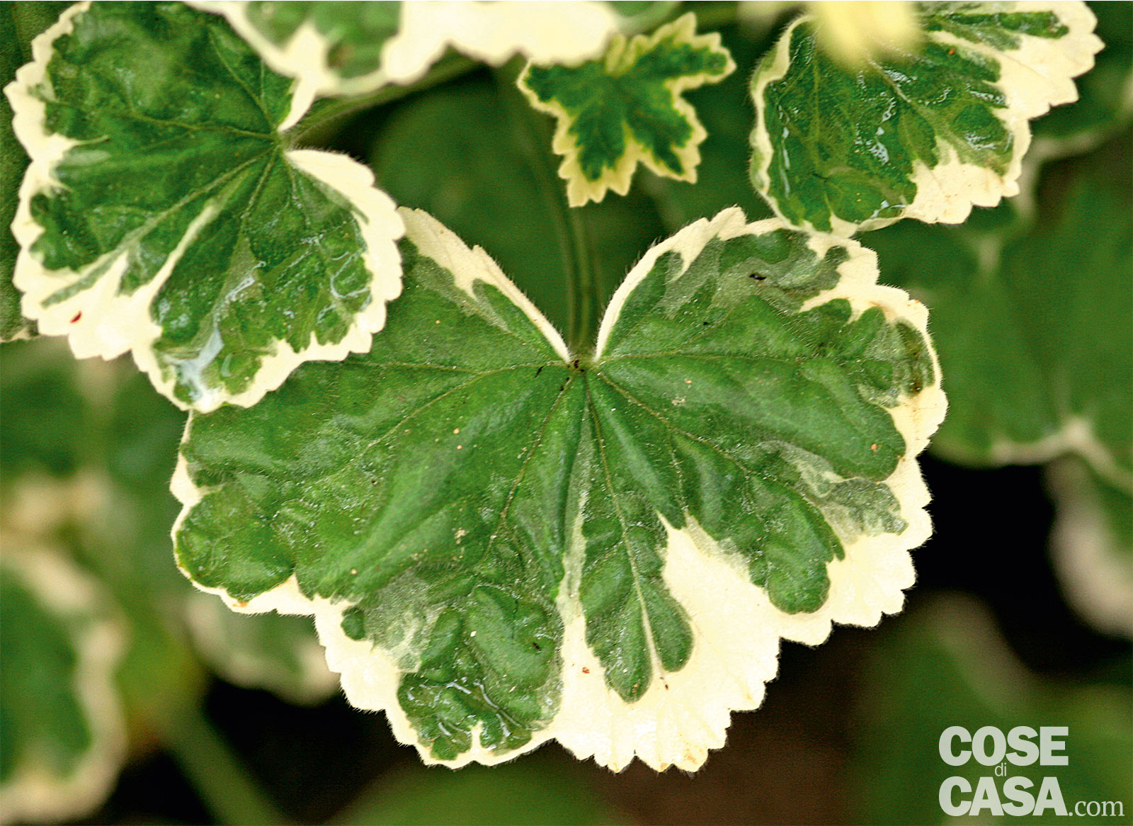 """Pelargonium """"Frank Headley"""", geranio da foglia"""