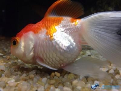 Malattie dei pesci d'acqua dolce tropicali