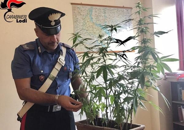 Caselle Lurani, segnalate per coltivazione di marijuana