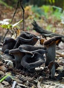 Craterellus cornucopioides o Trombetta dei Morti