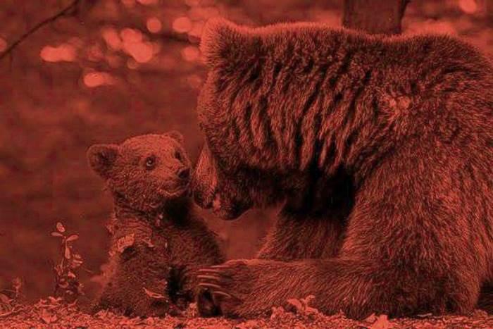 Non si placa l'indignazione per l'uccisione dell'orsa KJ2