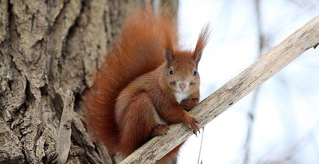 Lo scoiattolo rosso, il folletto dei boschi