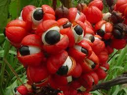 Piante della salute, il Guaranà