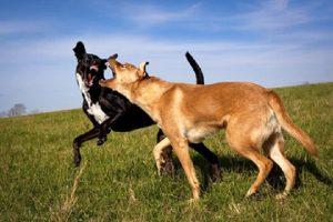 La dominanza e le gerarchie tra cani